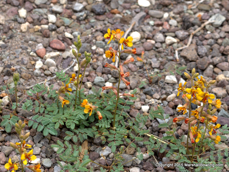 Wildflowers hog potato indian rushpea indian rush pea for Pond plants mesa az