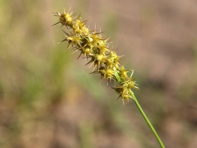 Common Sandbur